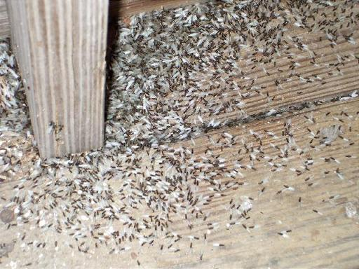 Wood Floors In Houston Termites - End O Pest provides the best pest control ...
